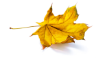 yellow-leaf_solo